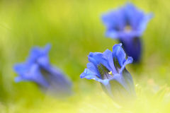Gentiana Royalty Free Stock Image