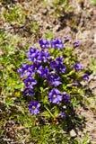 Gentiana acaulis stemless gentian. Blooming Gentiana acaulis stemless gentian in Carpathians stock photos