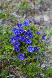 Gentiana acaulis stemless gentian. Blooming Gentiana acaulis stemless gentian in Carpathians stock image