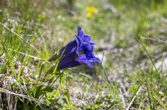 Gentiana acaulisvildblomma i blom, italienska berg Arkivfoto