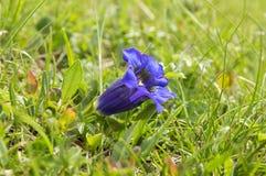 Gentiana acaulisvildblomma i blom, italienska berg Arkivfoton