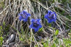 Gentiana acaulisvildblomma i blom i torrt gräs, italienska berg Arkivfoton