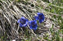 Gentiana acaulisvildblomma i blom, torrt gräs, italienska berg Royaltyfri Bild