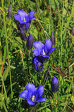 Gentiana alpina on alpine meadow Royalty Free Stock Image