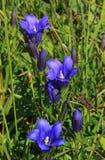 Gentiana alpina on alpine meadow.  Royalty Free Stock Image