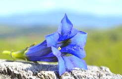 Gentiana alpina Stock Photo
