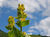 Gentiana amarillo Foto de archivo
