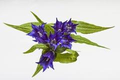 Gentiana asclepiadea Royalty-vrije Stock Afbeelding