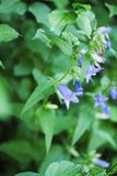 Gentiana asclepiadea detail in a bush_Schwalbenwurz-Enzian Stock Images