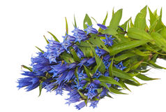 Gentiana asclepiadea isolated Royalty Free Stock Photo