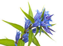 Gentiana asclepiadea isolated Royalty Free Stock Images