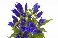 Gentiana asclepiadea Royalty Free Stock Image