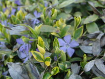 Gentiana asclepiadea willow gentian is a species of flowering plant of the genus Gentiana Stock Photo