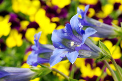 Gentiana clusii Royalty Free Stock Image