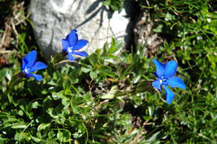 Gentiana flower Stock Photography