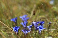 Gentiana. Gentian Blooming Stemless gentian /Gentiana acaulis Royalty Free Stock Image