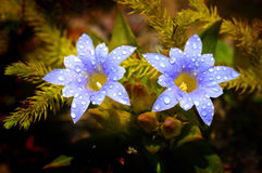 Beautiful wildflowers, Gentiana laptoclada in rain Stock Photography
