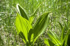 Gentiana lutea leaves Stock Images