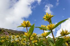 Gentiana Punctata för alpin blomma prickig gentiana med molnig himmel som bakgrunds- och kopieringsutrymme royaltyfria foton