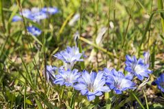 Gentiana thunbergii flowers. Blue purple Gentiana thunbergii flowers on grassy place Royalty Free Stock Photo