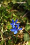 Gentiana Verna Bardzo rzadka roślina Tylko trzy lokaci w republika czech Fotografia Stock