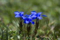 Gentiana verna flowers or spring gentian Royalty Free Stock Photos