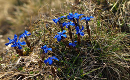 Gentiana verna rare mountain flower in spring Royalty Free Stock Photos