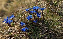 Gentiana verna rzadki halny kwiat w wiośnie Zdjęcia Royalty Free