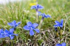 Gentiana vernavildblomma i blom, italienska berg Royaltyfria Bilder