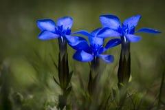 Gentiana wiosny gencjana lub Zdjęcie Royalty Free