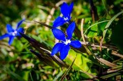 Gentianablomma Royaltyfria Bilder