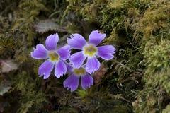 Gentianaceae in Goechala-trek Royalty-vrije Stock Foto