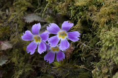 Gentianaceae no passeio na montanha de Goechala foto de stock royalty free