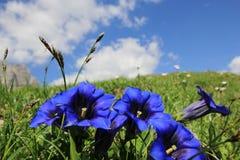 Gentianan blommar (Enzian) Royaltyfri Bild