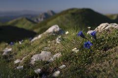 Gentianan blommar på Mala Fatra berg Royaltyfri Foto