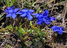 Gentiane весны (gentiana verna) Стоковые Изображения RF