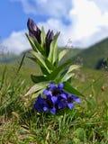 Gentiane bleue Image libre de droits