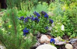 Gentiane dans le jardin, dans les jardins de rocaille Photo libre de droits