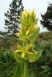 Gentiane jaune Images stock