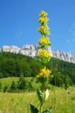 Gentiane jaune Photo libre de droits