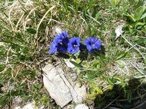 Gentianor som är enzian - härliga naturliga blommor Royaltyfri Foto