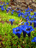 Gentians Stock Photos
