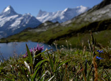 Gentians. Mountain flowers - strong beautiful and powerful Royalty Free Stock Photos
