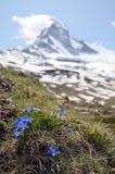 Gentians and the Matterhorn Stock Photos