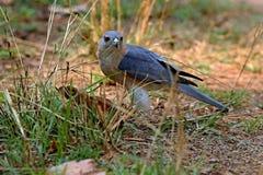 Gentil Indien Sikra de rapace dans l'habitat de nature dans l'Inde Image libre de droits