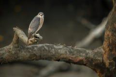 Gentil Indien Sikra de rapace de Sundarbans Photographie stock libre de droits