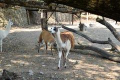 Gentil lama photos libres de droits