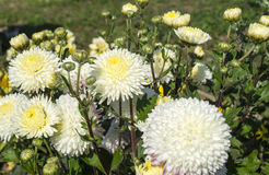 Gentile flower of the aster. On background of the green herb Stock Photography