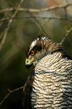 Gentilis del Accipiter Fotografie Stock