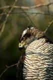 Gentilis van Accipiter Stock Foto's